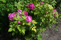 Pink flowers of roses on green foliage Royalty Free Stock Photos