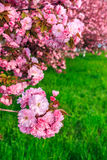 Pink flowers of sakura branches above grass Royalty Free Stock Image