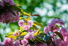 Pink flowers of sakura branches Royalty Free Stock Photo