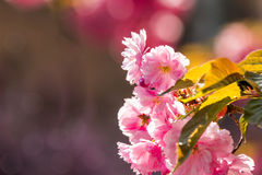 Pink flowers of sakura branches. Closeup of pink flowers with shallow depth of field on the branches of Japanese sakura  bloomed  in spring garden blurred Stock Photography