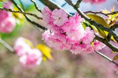 Pink flowers of sakura branches. Closeup of pink flowers with shallow depth of field on the branches of Japanese sakura  bloomed  in spring green garden blurred Stock Image