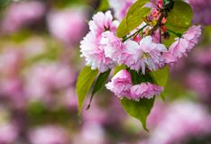 Pink flowers on sakura branches. Delicate pink flowers of blossomed Japanese cherry trees Royalty Free Stock Photos
