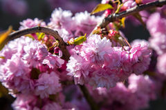 Pink flowers of sakura. Pink flowers on the branches of Japanese sakura royalty free stock images