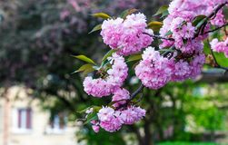 Pink flowers on sakura branches. Pink flowers on the branches of Japanese sakura blossomed above fresh green grass in spring Stock Image