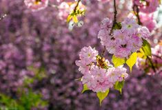 Pink flowers of sakura branches. Pink flowers on the branches of Japanese sakura blossomed in garden in spring Stock Photos