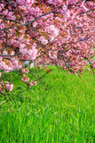 Pink flowers of sakura branches. Pink flowers on the branches of Japanese sakura blossomed  in spring garden Stock Photo