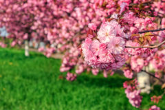Pink flowers of sakura branches. Pink flowers on the branches of Japanese sakura blossomed  in spring garden Stock Photos