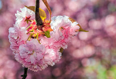 Pink flowers of sakura branches. Pink flowers on the branches of Japanese sakura blossomed  in spring garden Royalty Free Stock Photo
