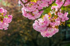 Pink flowers of sakura branches. Pink flowers on the branches of Japanese sakura blossomed in garden in spring Royalty Free Stock Photo