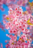 Pink flowers. Pink sakura flower blooming during cold season in the north of Thailand royalty free stock photo