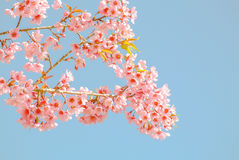 Pink flowers. Pink sakura flower blooming during cold season in the north of Thailand royalty free stock image
