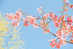 Pink flowers. Pink sakura flower blooming during cold season in the north of Thailand royalty free stock images