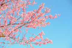 Pink flowers. Pink sakura flower blooming during cold season in the north of Thailand stock image
