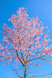 Pink flowers. Pink sakura flower blooming during cold season in the north of Thailand royalty free stock photography