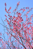 Pink Flowers Sakura garden Stock Image