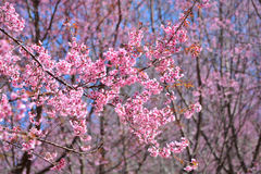 Pink Flowers Sakura garden Royalty Free Stock Photo