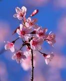 Pink Flowers Sakura Stock Image