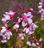 Pink Flowers Sakura Royalty Free Stock Photos