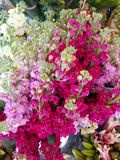 Pink flowers for sale sunny day. Pink flowers for sale on a sunny day market Royalty Free Stock Photo