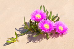 Pink flowers in the sand. Pink flowers on the beach in summer Stock Photos