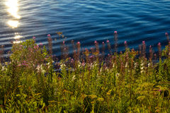 Pink flowers on the seaside. In Norway Royalty Free Stock Photography
