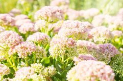 Pink flowers of sedum with sunlight and little fly.  Stock Image