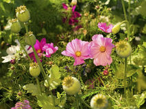 Pink flowers and seed capsules. Pink beautiful flowers surrounded by greenery and seed capsules Royalty Free Stock Photo
