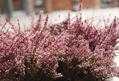 Pink flowers, selective soft focus, shallow depth of field, vintage tone. Pink flowers, selective soft focus , shallow depth of field, vintage tone Royalty Free Stock Photography