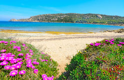 Pink flowers by the shore in Capo Testa Stock Images