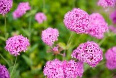 Pink flowers (silene compacta) Stock Image