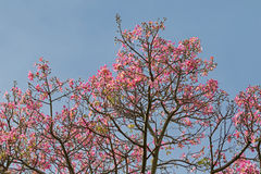 Pink flowers from Silk Floss tree against blue sky during Autumn Stock Photos