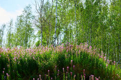 The pink flowers and silver birches Stock Photo
