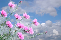 Pink flowers and sky. Pink flowers on a background of the cloudy sky Royalty Free Stock Image
