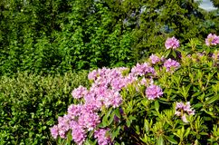 Pink flowers on the slope. Fjords of Norway Royalty Free Stock Images