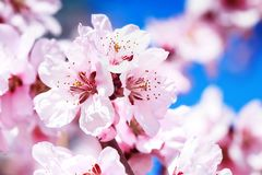 Blossoming cherry tree Royalty Free Stock Photos