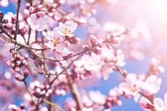 Blossoming crab apple tree. Pink flowers in small clusters on a crab apple tree branch royalty free stock image