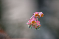 Pink flowers with soft background. A bunch of small pink flower on a soft, blurry background Royalty Free Stock Image