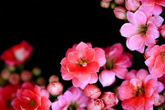 Pink flowers soft focus. With dark background royalty free stock photos