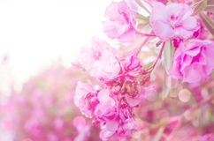Pink flowers on soft pastel color in blur style Royalty Free Stock Images
