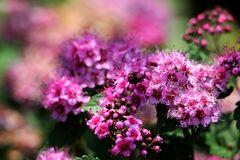 Pink flowers of Spiraea Japonica royalty free stock photography