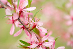 Pink flowers spring Stock Photo