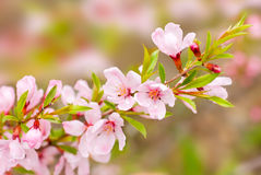 Pink flowers spring Royalty Free Stock Images