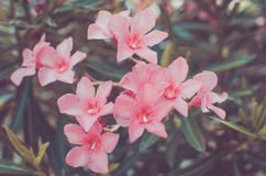 Pink Flowers Stock Image
