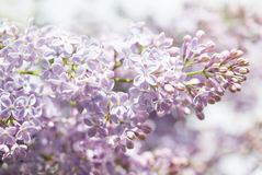 Pink flowers spring background. Lilac bush closeup. soft focus, shallow depth of field Royalty Free Stock Photos