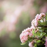 Pink flowers spring background. Spring background. Pink flowers on green tree. Spring background Royalty Free Stock Photos