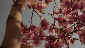 Pink flowers in the spring are blooming stock video footage