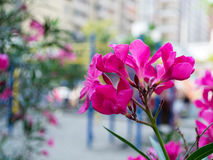 Pink flowers for spring. Closeup of Pink spring flowers in the city Royalty Free Stock Images