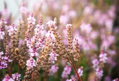 Pink flowers spring Royalty Free Stock Photos