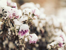 Pink flowers sprinkled with fallen snow Royalty Free Stock Image