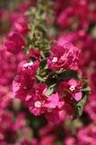 Pink flowers maltese endemic. Pink flowers in st Anton botanic gardens in Attard Malta Royalty Free Stock Photography